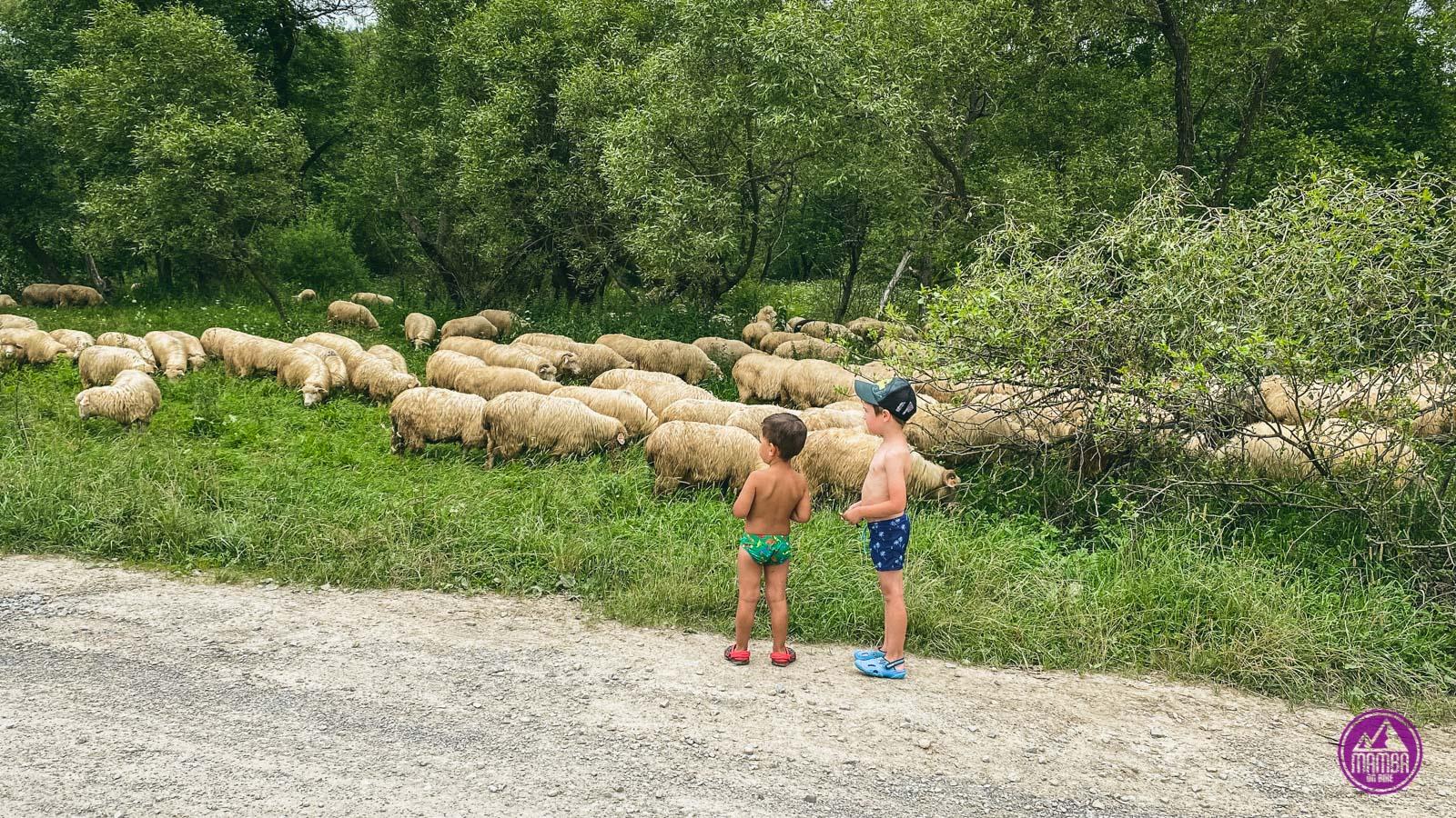 stado owiec