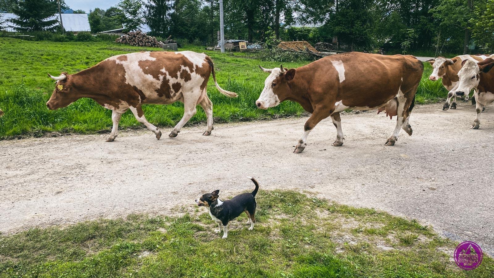 pies z krowami