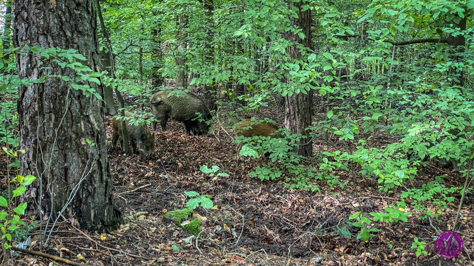 Dziki w Konewce