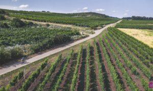 Morawy Południowe rowerem – Mikulovska Ścieżka Winiarska
