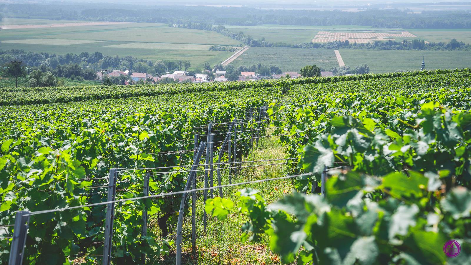 Morawskie winnice